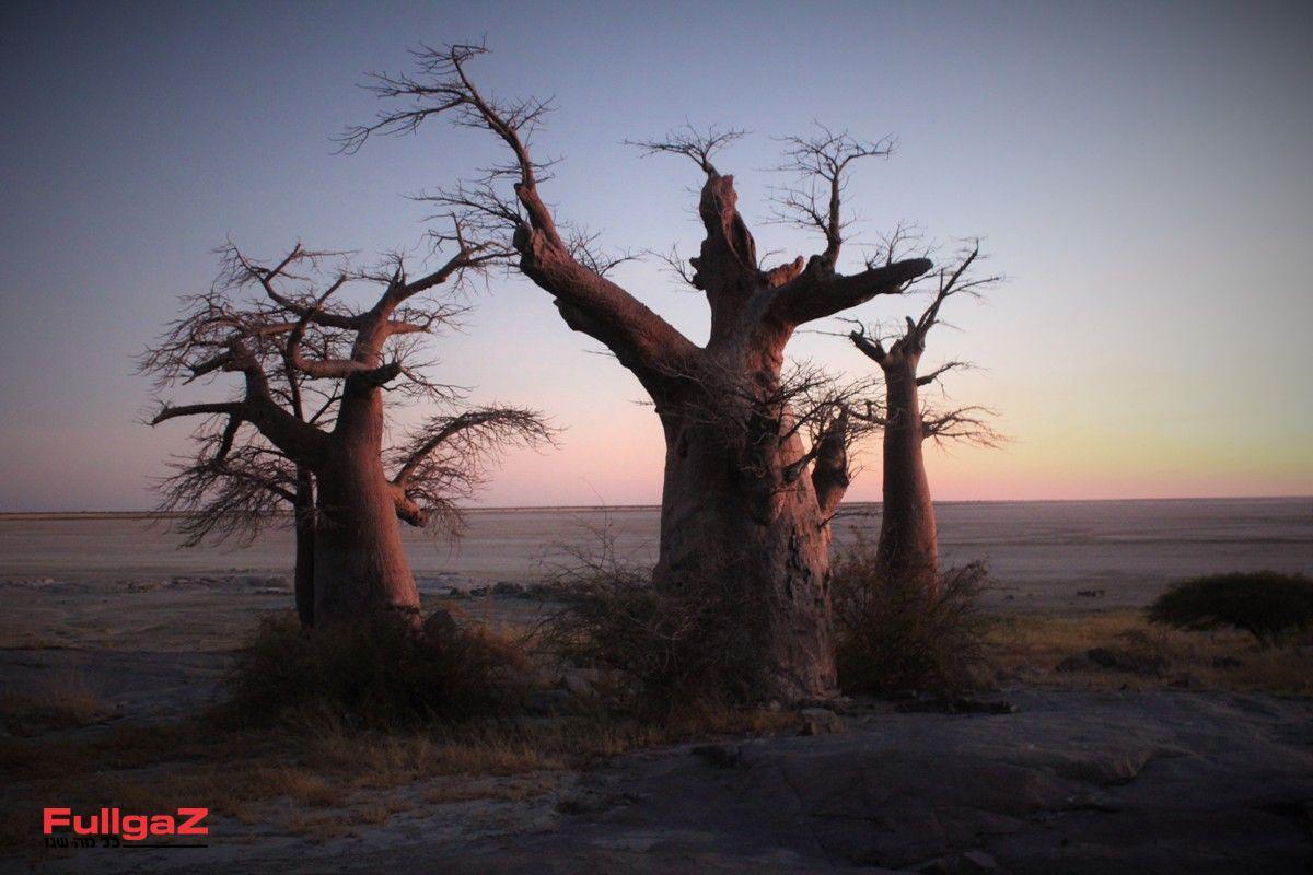 עצי באובב - נוף אופייני לבוצואנה